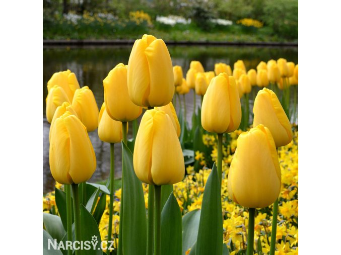 žlutý tulipán golden apeldoorn 4