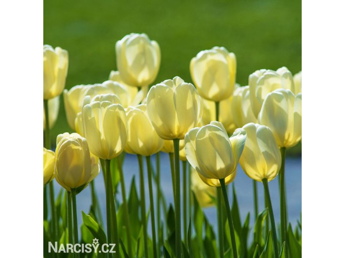Tulipan Ivory floradale 6