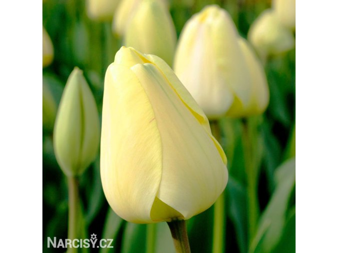 žlutý tulipán ivory florafale 7