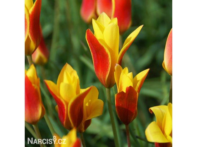 zlutocerveny tulipan clusiana chrysantha 1