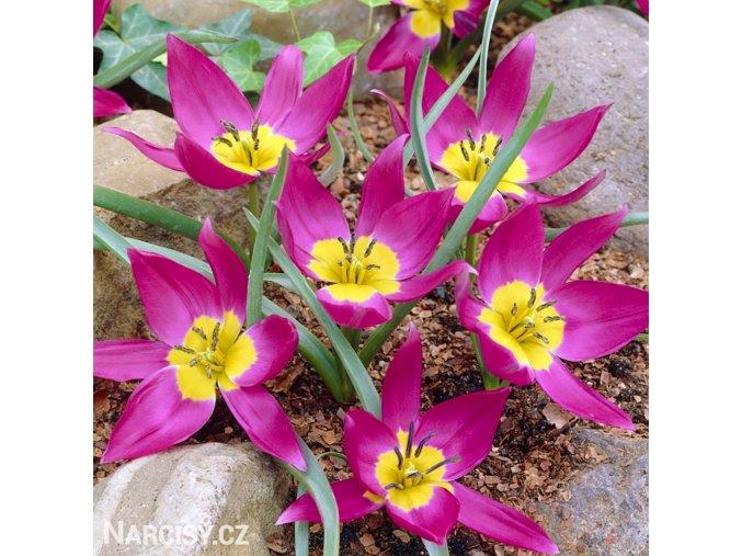 Fialovy nizky tulipan Eastern star pulchella 1
