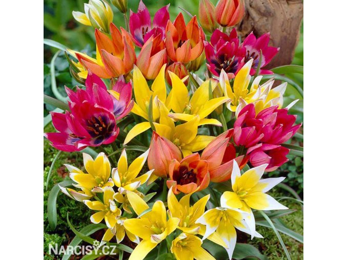 Tulipan Mix botanickych tulipanu 5