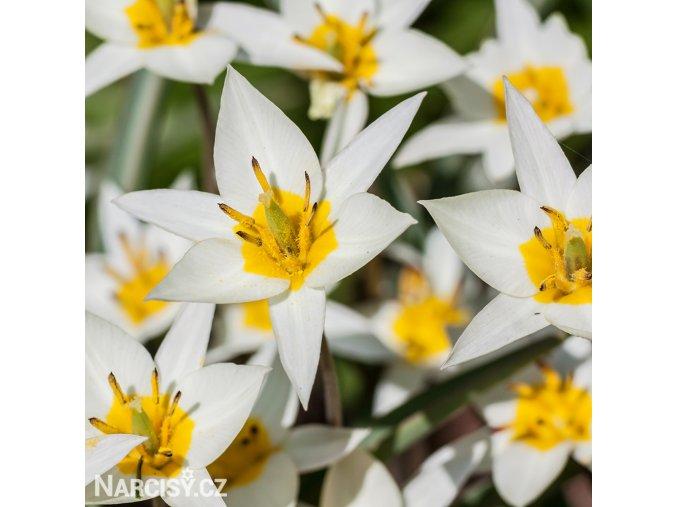 bily nizky tulipan turkestanica 1