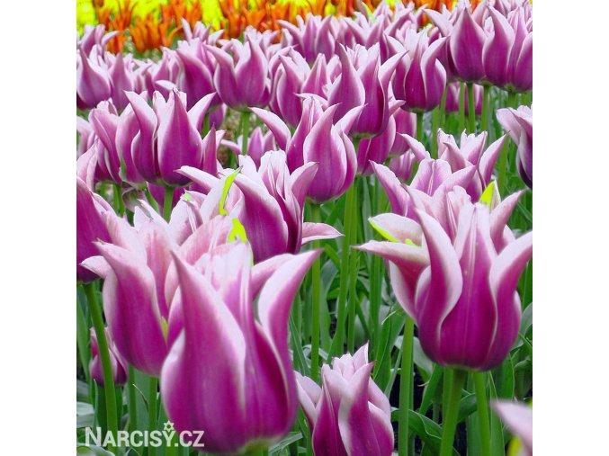 Tulipany Ballade 5