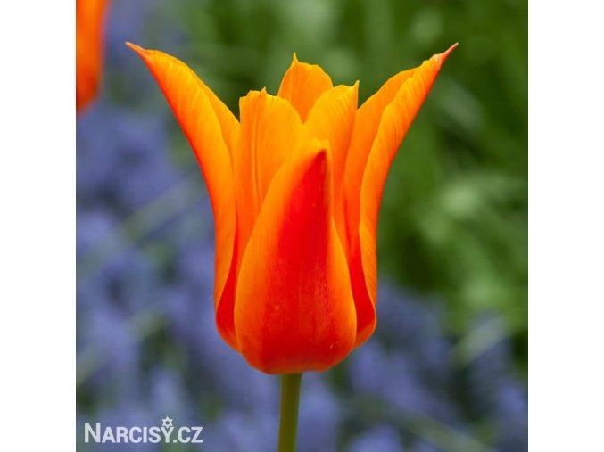 oranzovy tulipan ballerina 1