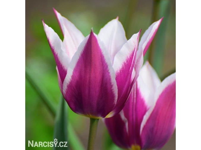 Tulipany Claudia 1