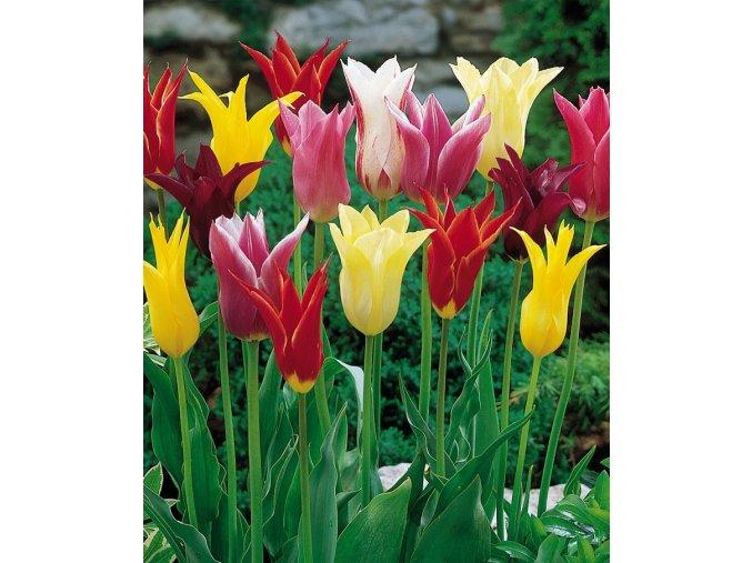 Tulipany Lilyflowering mixed 1
