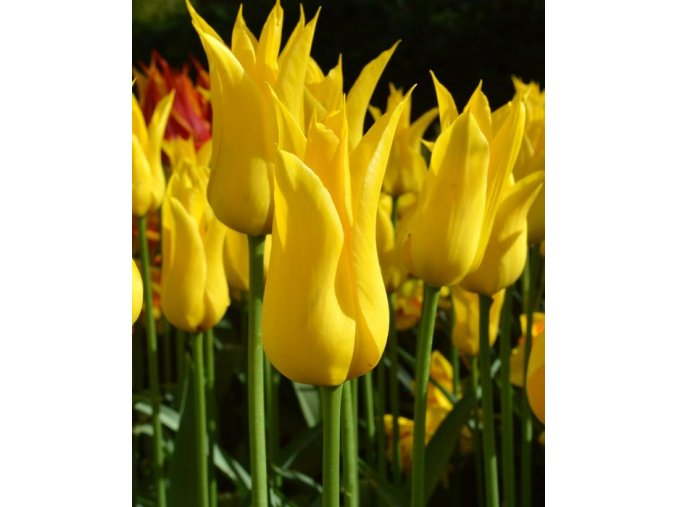 Tulipany West point 7