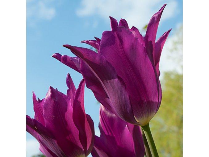Tulipany Yume no murasaki 1