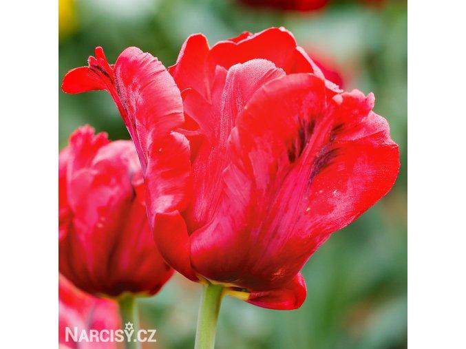 cerveny tulipan erna lindgreen 1