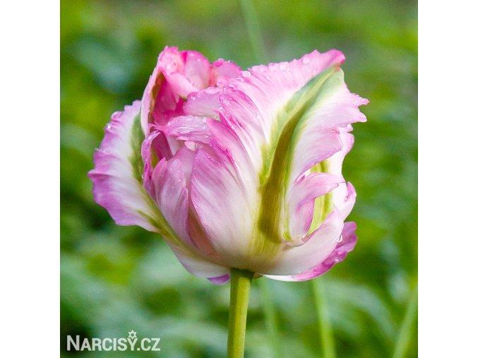 Tulipan Green wave 1