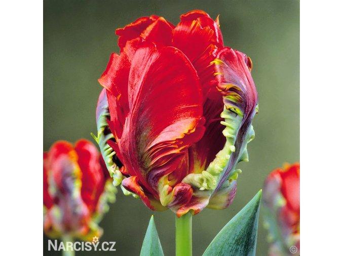 Tulipan Rococo 1