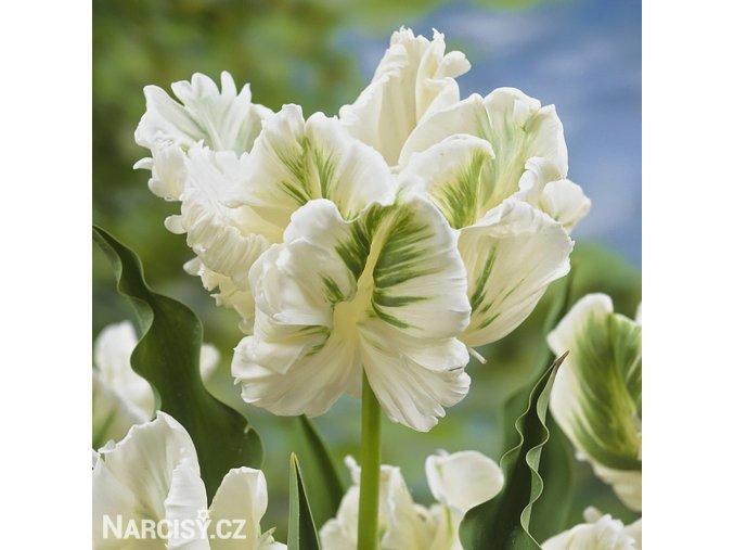 Tulipan White rebel 1