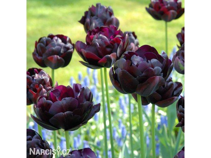 Tulipany Black hero 5