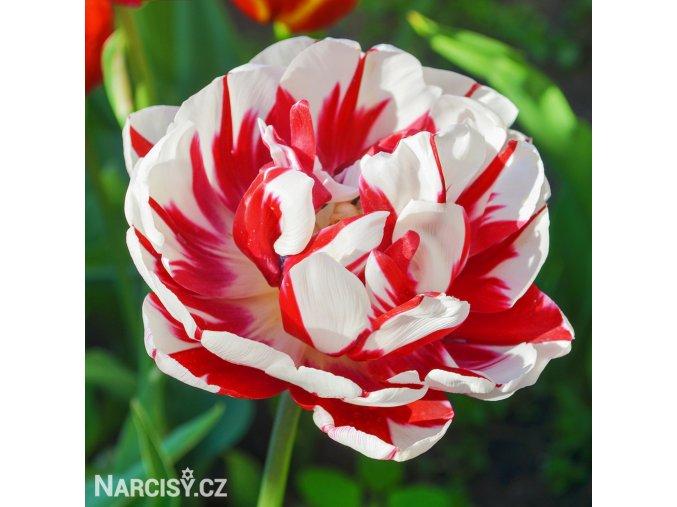bilocerveny plnokvety tulipan carnaval de nice 1