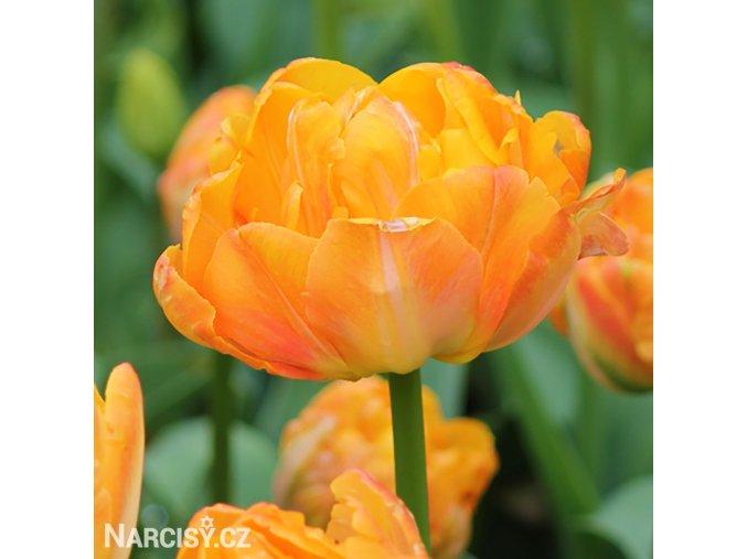 Tulipany Granny award 1