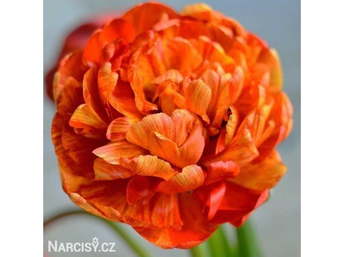 Tulipany Sunlover 1