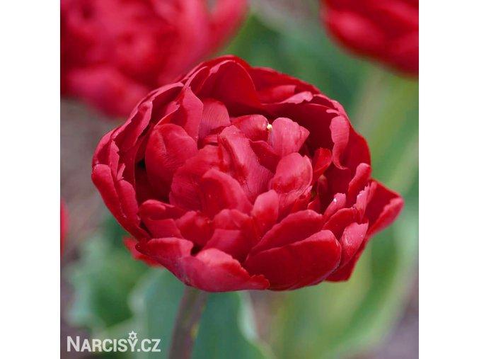 cerveny plnokvety tulipan uncle tom 1