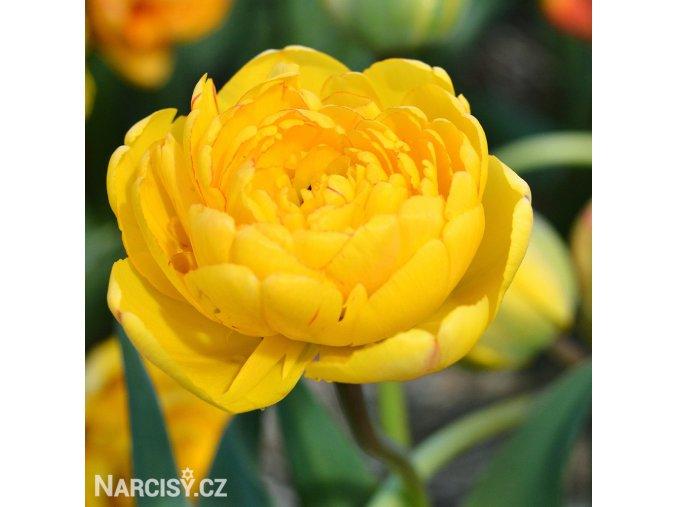 zluty plnokvety tulipan yellow pomponette 1