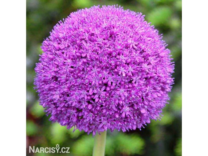 Česnek Allium Ambassador 1