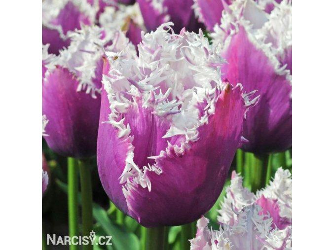 fialovy trepenity tulipan cummins 1