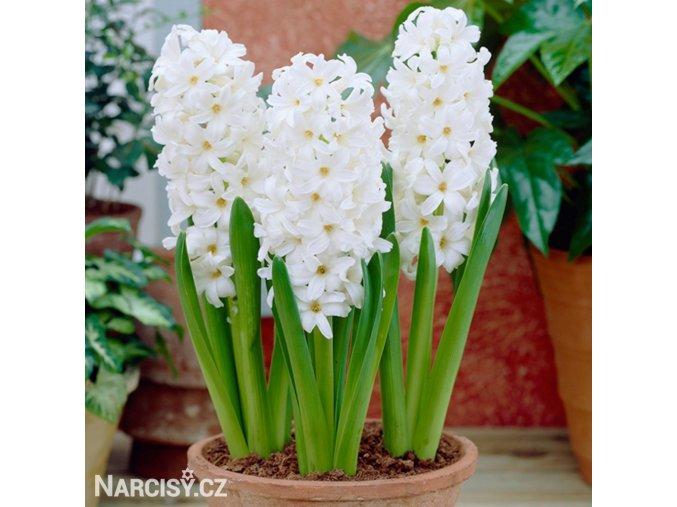 Hyacint Aiolos 1