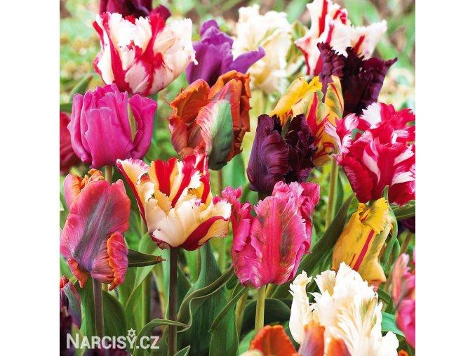 Tulipan parrot smes 1