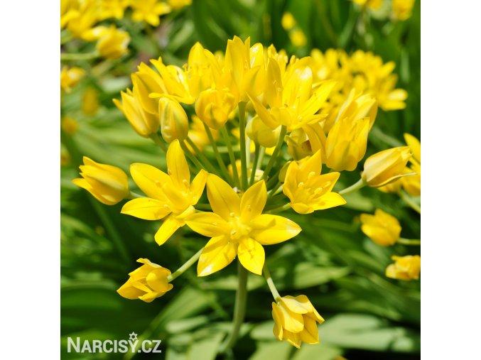 Česnek Allium Moly Luteum 1