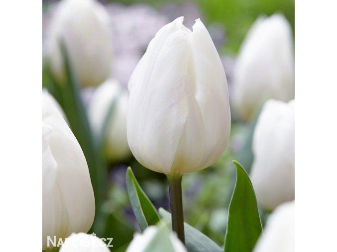 Antarctica Tulips 2