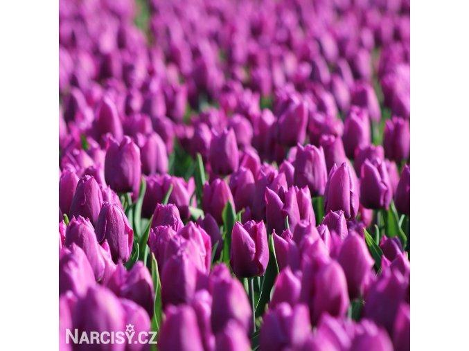 Tulipán Triumph Negrita 5