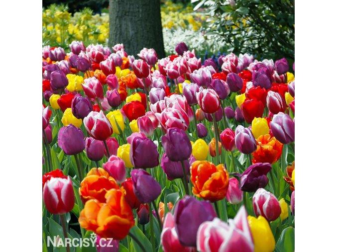 smes tulipanu triumph mix 1