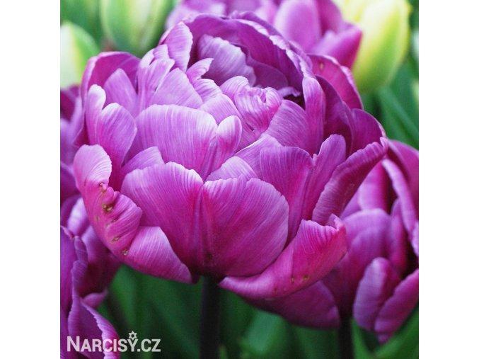 fialovy plnokvety tulipan blue diamond 1