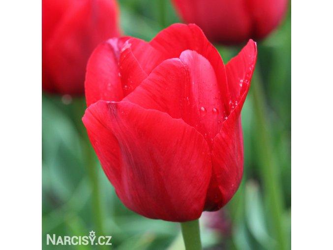 cerveny tulipan triumph ile de france 1