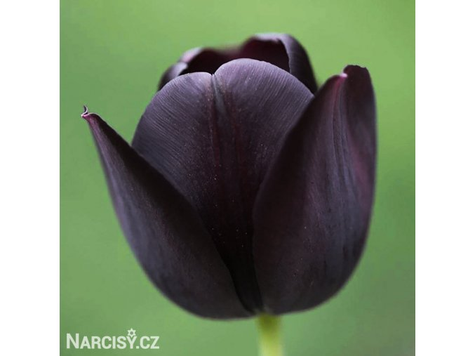 Tulipán Triumph Queen of the Night 1