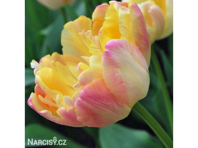 zlutoruzovy plnokvety tulipan creme upstar 1