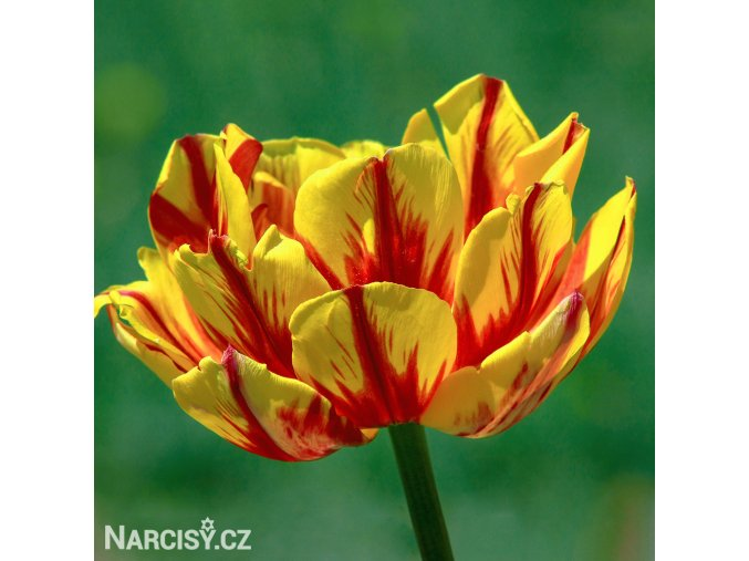Tulipany Golden nizza 1
