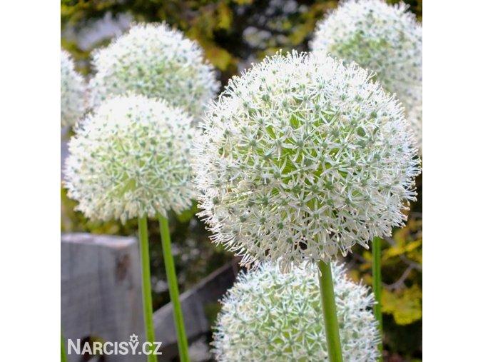 bily Česnek Allium Mount Everest 6
