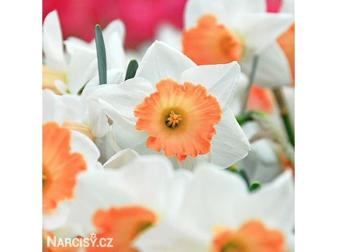 Narcis Accent 4