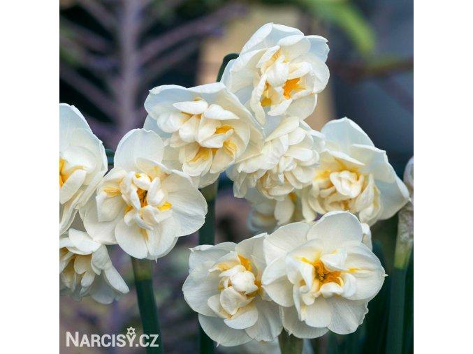 bílý plnokvětý narcis bridal crown 5