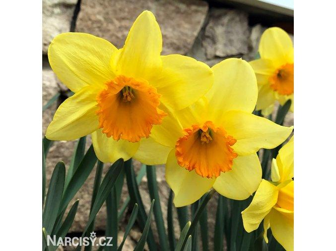 žlutooranžový narcis juanita 1