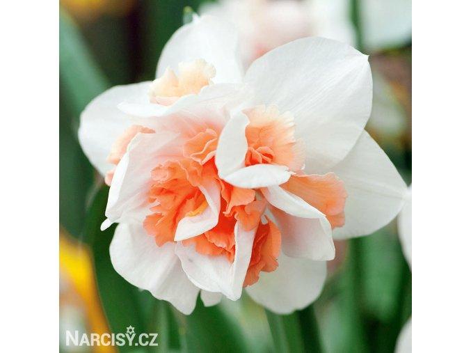bílý plnokvětý narcis replete 3