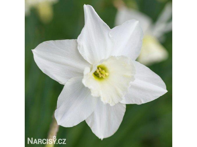 bílý narcis tresamble 1