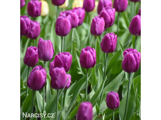 Tulipan Purple Prince 2 2