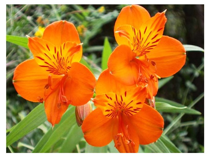 Alstroemeria aurea Orange King 07