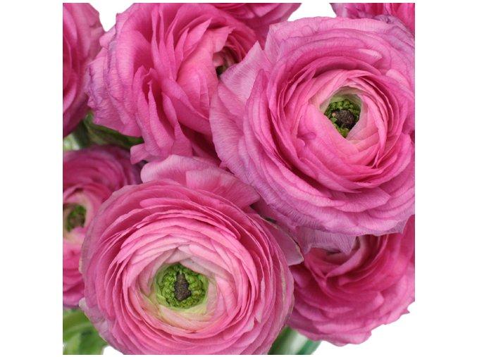 Ranunculus pink 05