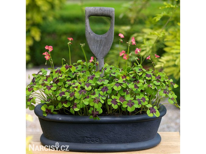 Oxalis Iron Cross 02