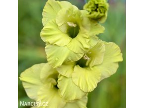 Gladiol Green Star 01