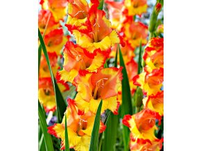 Gladiol Princess Margareth 01