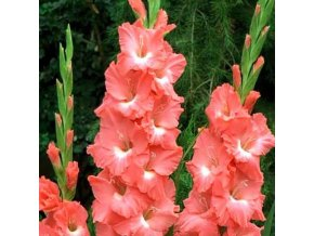 Gladiol Spic and Span 05