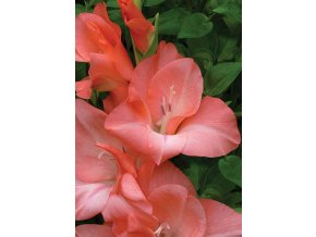 Gladiol Spic and Span 01